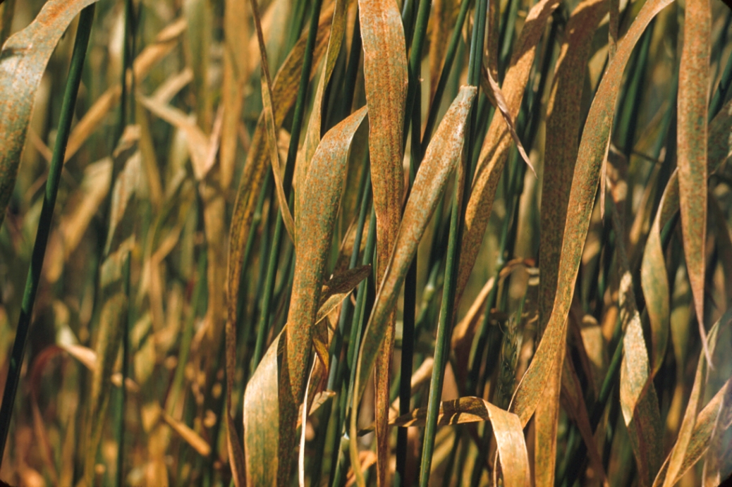 Yellow Rust: Bad News