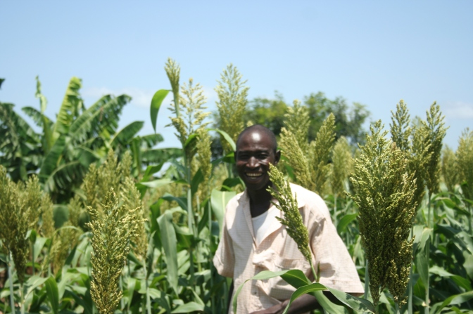 Fig-13-Sorghum-variety-Fadda-at-Banfora